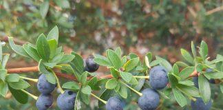 Sauco: el frutal asilvestrado que neutraliza los efectos del virus de la Influenza